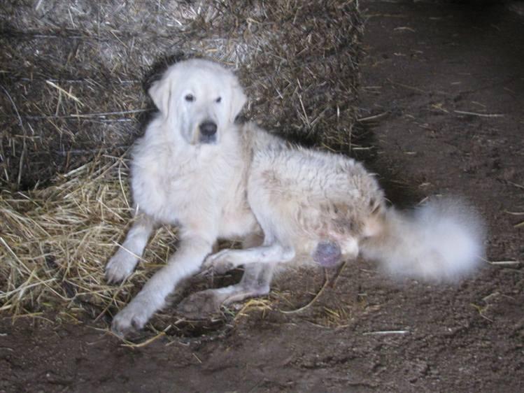 Un buon cane da pastore diventa sempre un ottimo for Animali da casa