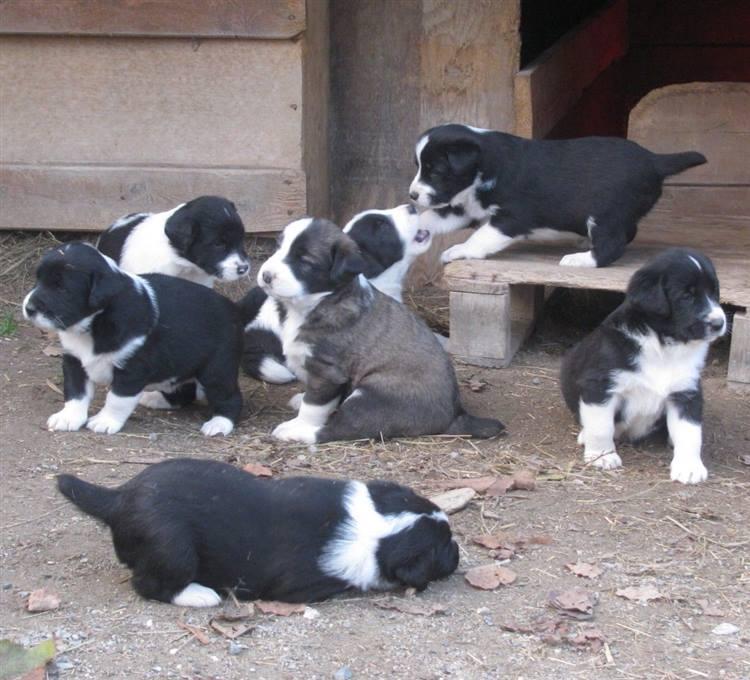 Cani Da Guardia Tutto Sta Nel Scegliere Il Cucciolo Giusto