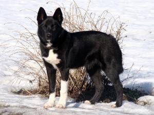 Super Dark Husky Like Dog